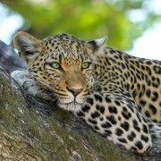 leopardo-inspiración
